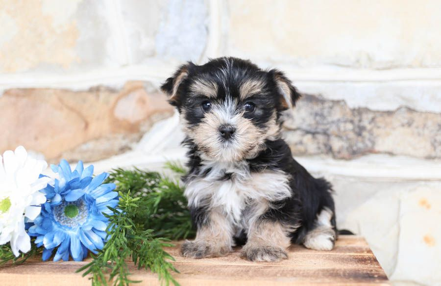 Super Cuddly Sweet And Precious Morkie Pup Gabe S Caringheart Makes For A Loyal Best Friend Who Will Alway In 2020 Morkie Puppies Morkie Lancaster Puppies