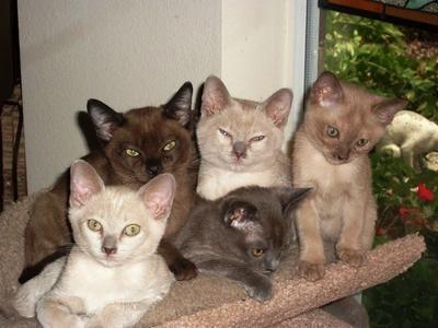 Burmese Cats Burmese Cat Cat Breeds Cats