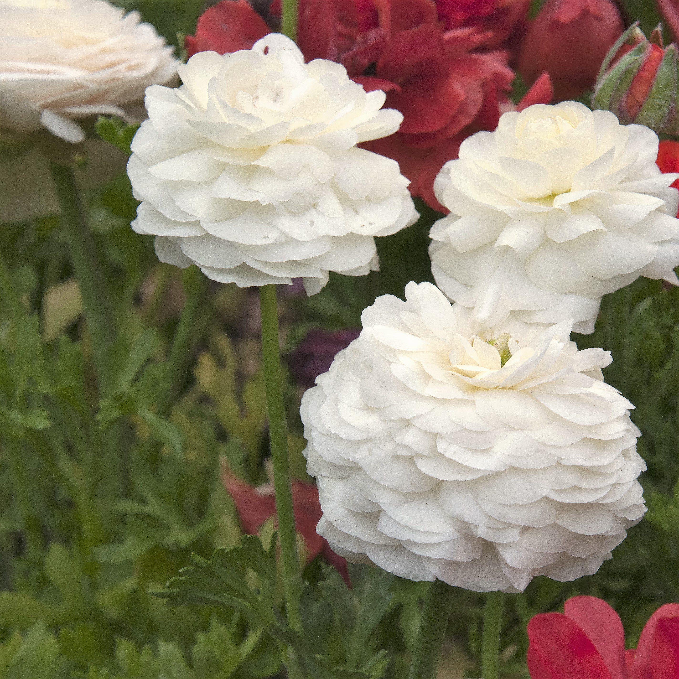 Allium ampeloprasum spanish allium wish list pinterest