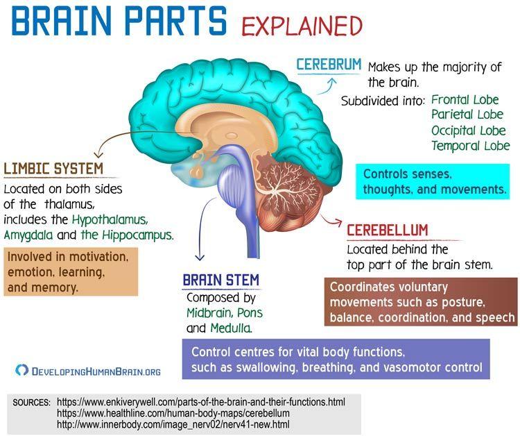 brain parts and functions | Brain parts, Brain anatomy ...