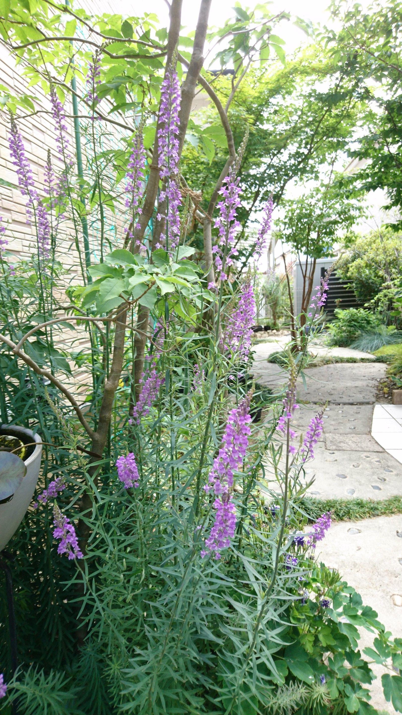 宿根草リナリア パープレアやキャノンjウェントが開花 イングリッシュガーデンの背景に イングリッシュガーデン リナリア 庭