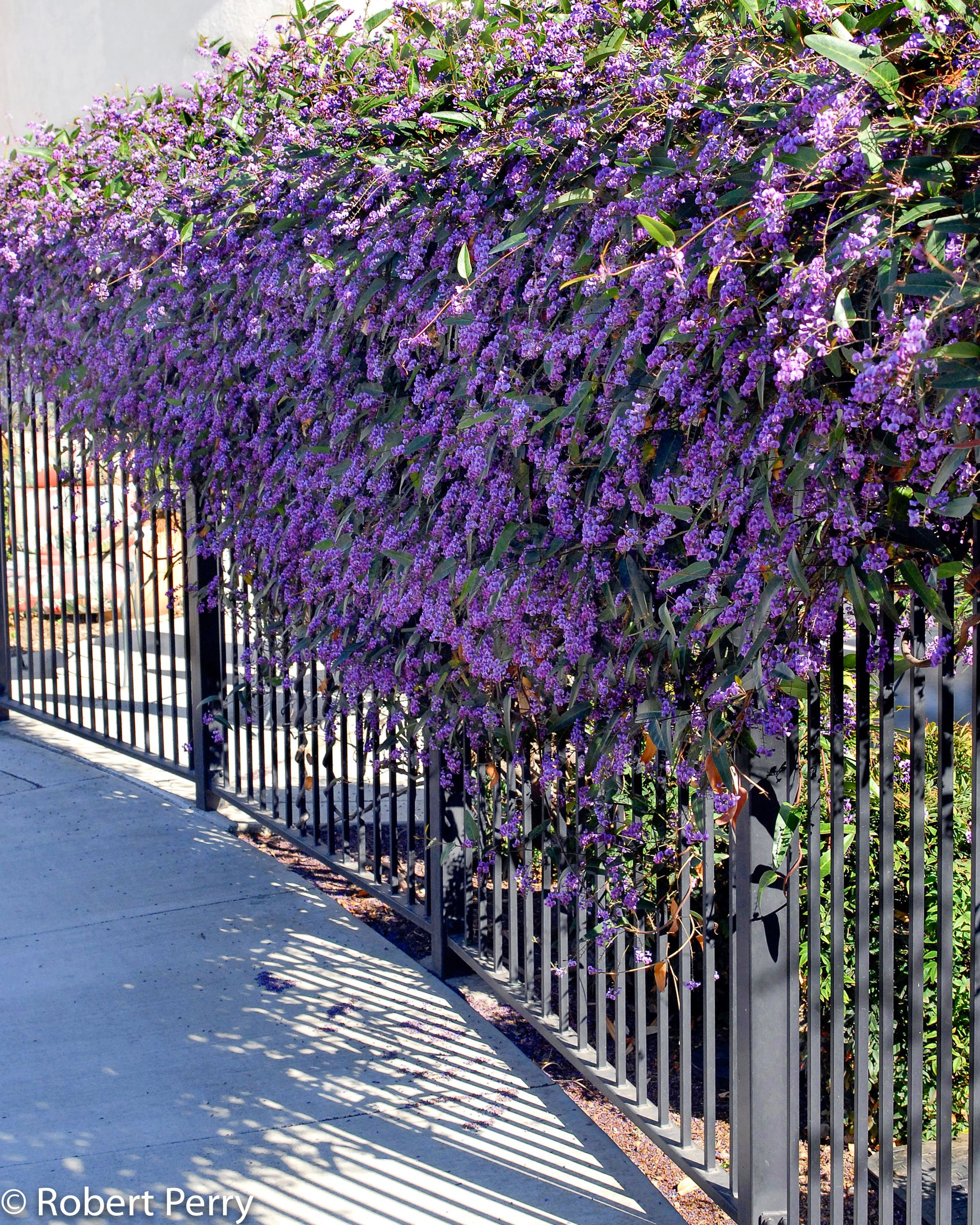 Lilac Vine Happy Wanderer Hardenbergia Violacea Evergreen To 15 Tall Purple Flowers Late Winter To Early S Evergreen Vines Garden Vines Evergreen Plants