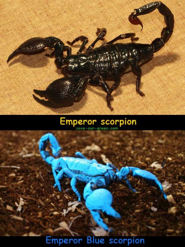 Blue Emperor Scorpion   Emperor scorpion. It is an insect ...