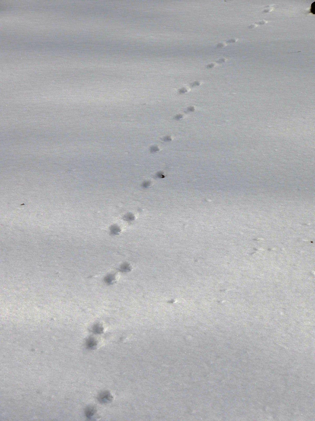 Grey Ohio Fox Prints Snow