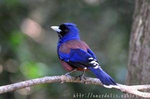 野鳥 日本の野山にいる青い鳥写真集 Naver まとめ Pet Birds Wild Birds Colorful Birds