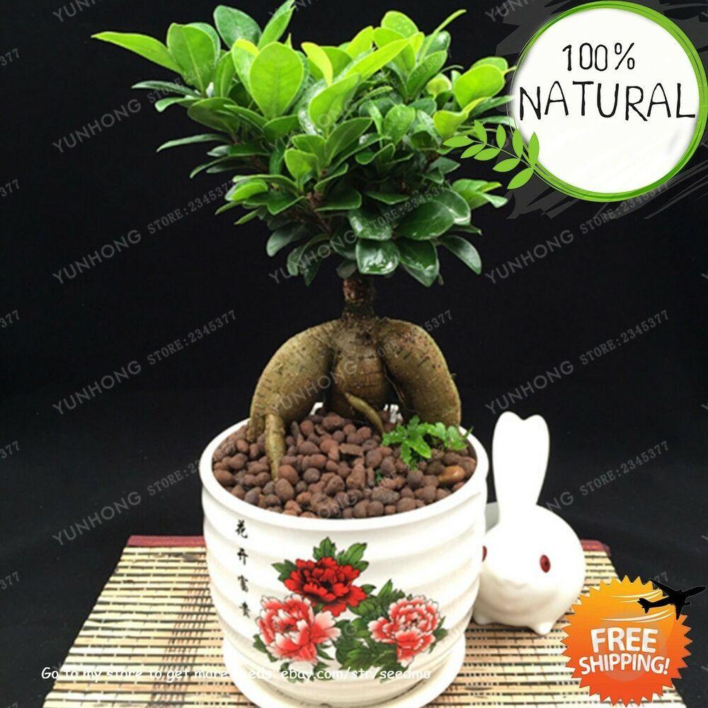 Banyan Tree Apartments: Banyan Tree Bonsai Seeds Plants Ficus Ginseng Chinese Rare