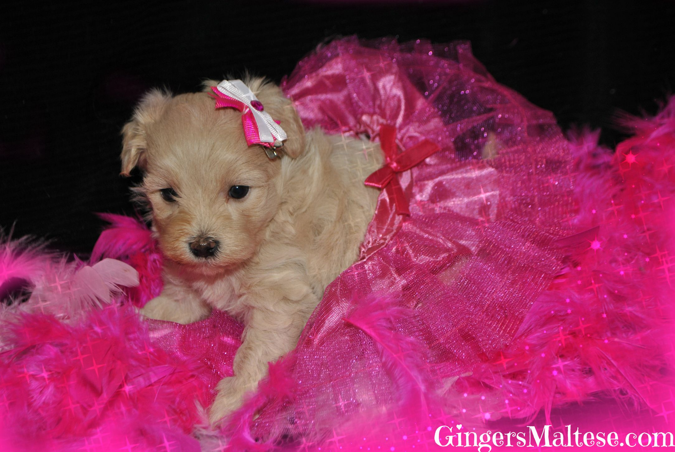 Maltipoo Puppies For Sale Near Raleigh Nc Maltepoo Puppies For