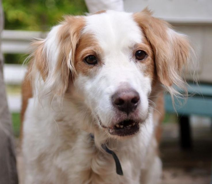 Golden Retriever Brittany Spaniel Mix Brittany Spaniel Cuddly
