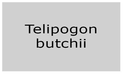 Telipogon butchii