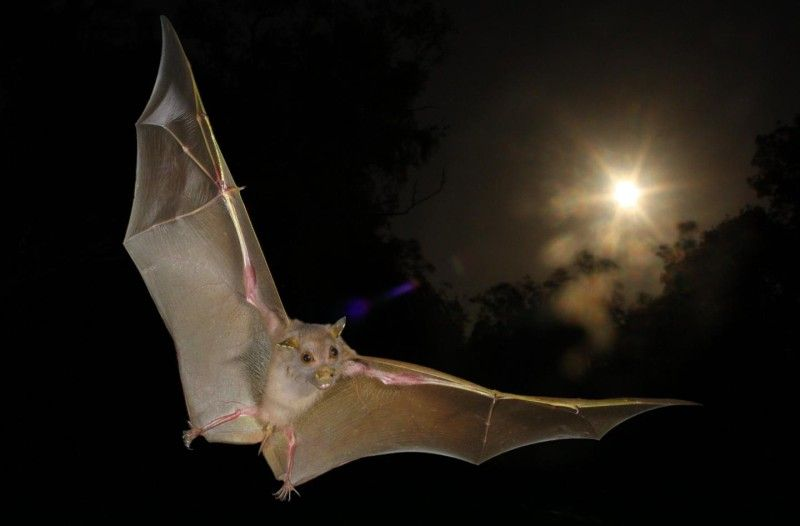 In a discovery that overturns conventional wisdom about bats, researchers have found that Old World fruit bats -- long classified as 'non-echolocating' -- actually do use a rudimentary form of echolocation. Perhaps most surprisingly, the clicks they emit to produce the echoes that guide them through the darkness aren't vocalizations at all. They are instead produced by the bats' wings, although scientists don't yet know exactly how the bats do it.