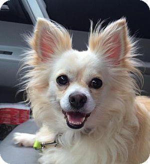 Austin Tx Pomeranian Mix Meet Skye A Dog For Adoption Pomeranian Chihuahua Mix Pomeranian Mix Dog Adoption