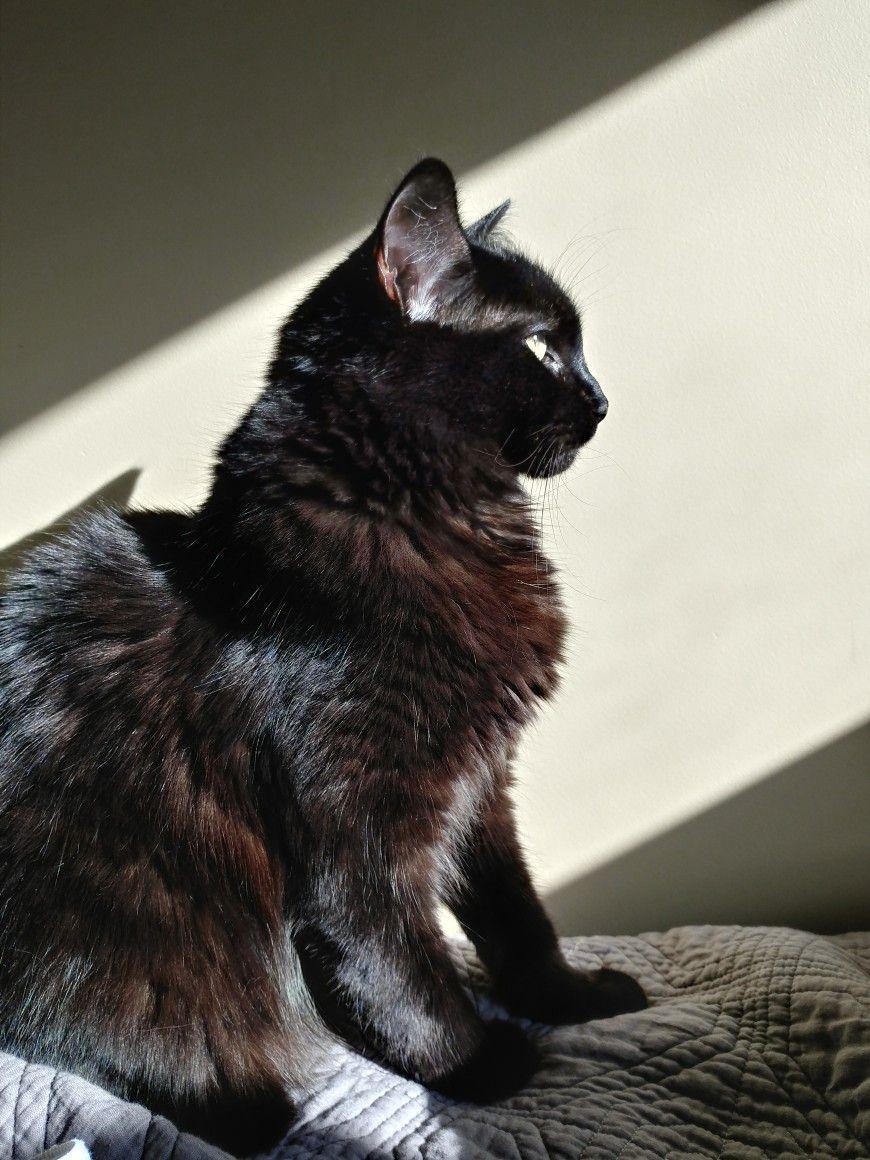 Black cat Shiny coat Cats, Black cat, Animals
