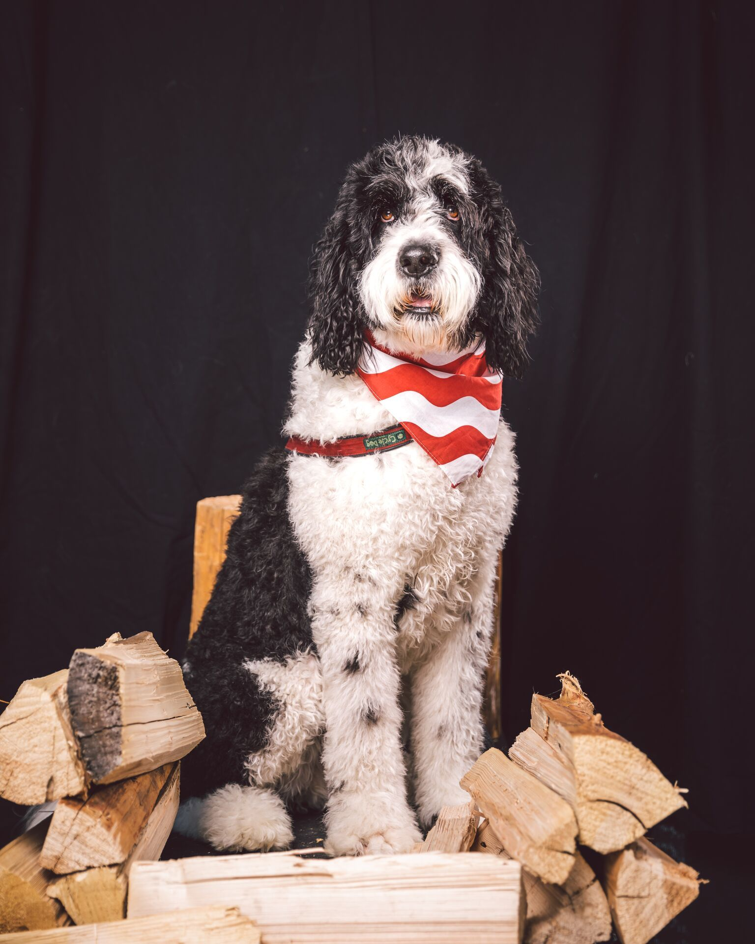 Shared With Dropbox Saint Berdoodles Portuguese Water Dog