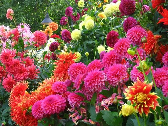 Dahlias - Picture of The Butchart Gardens, Central Saanich - Tripadvisor