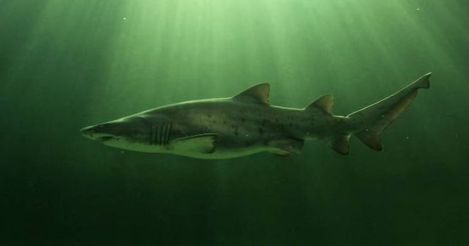 9 facts about ragged-tooth sharks - Africa Geographic