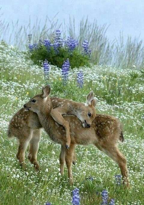 Bambi dubbel