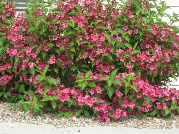 weigelia bristol ruby 2x2 rapide floraison rose fin juin. Black Bedroom Furniture Sets. Home Design Ideas