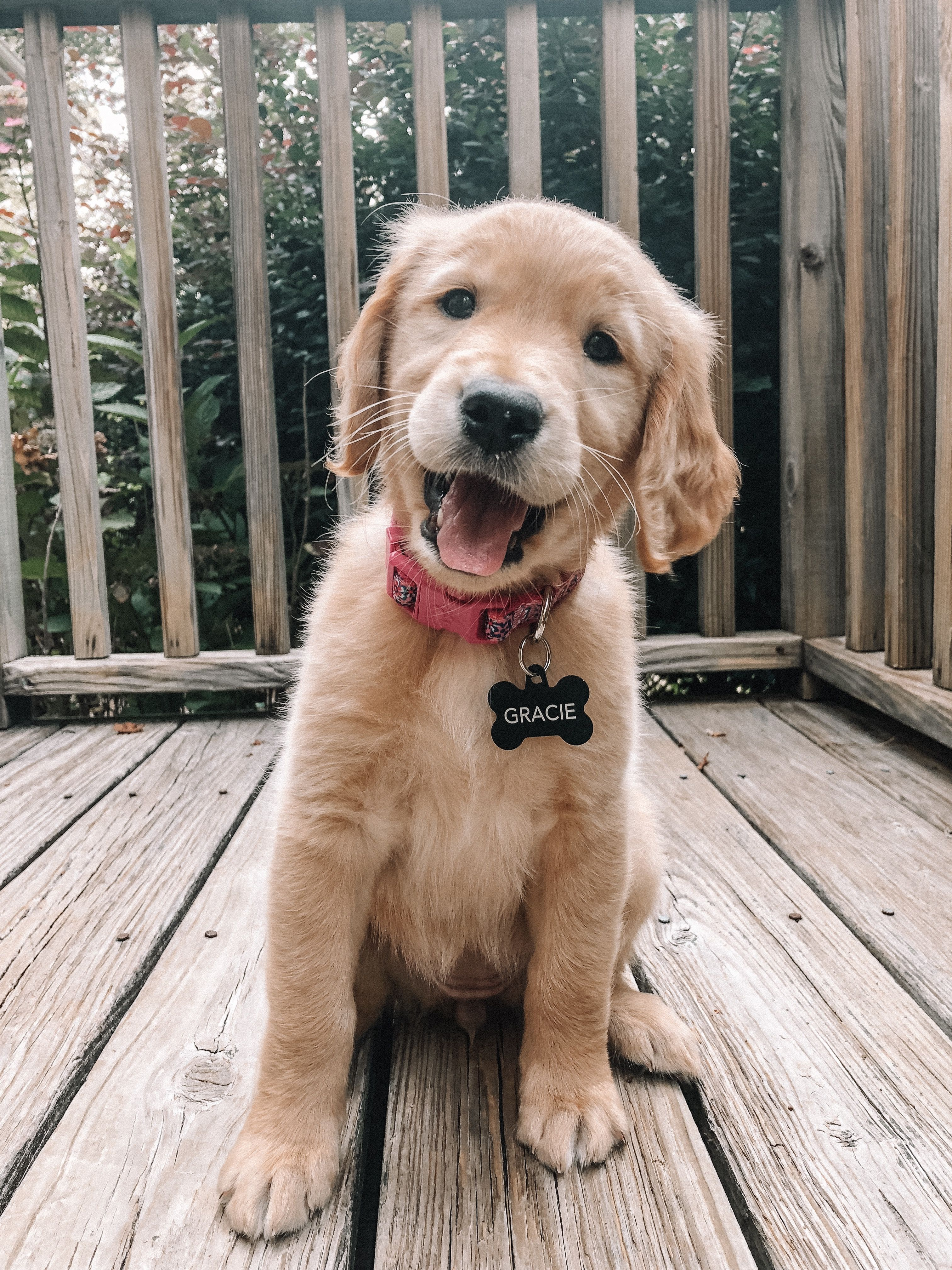 Happy Golden Retriever Puppy 7 Weeks Old Cute Animals Cute