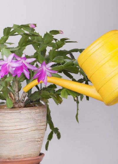 Christmas Cactus Root Rot.Can An Overwatered Christmas Cactus Plant Be Saved Cactus