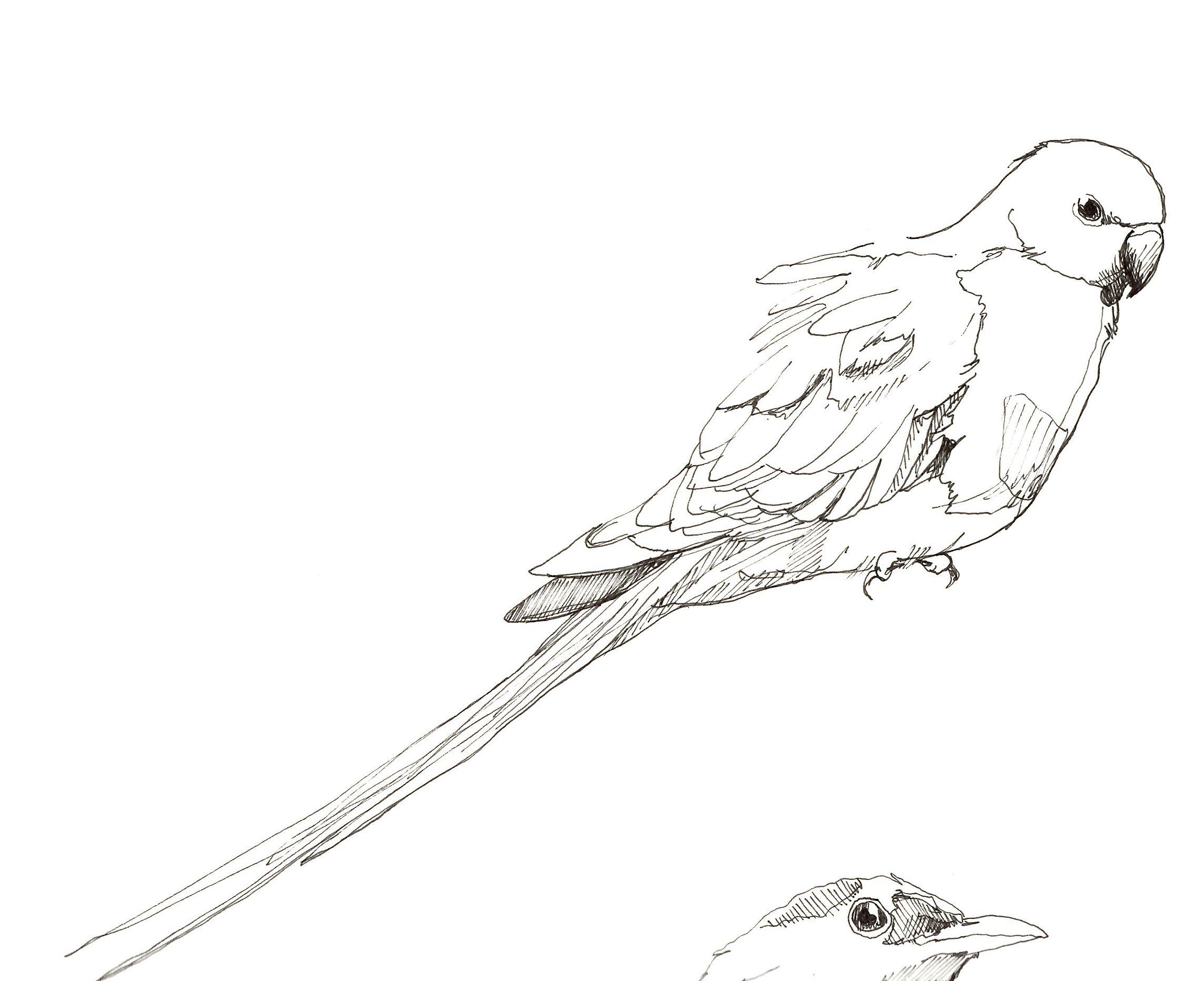 parakeet b i r d s pinterest parakeets