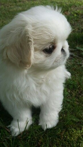 Echo Beautiful White Pekingese Pekingese Puppies Cute Dogs