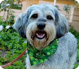 Schnauzer Miniature Lhasa Apso Mix Dog For Adoption In Los Angeles California Sweeney Lhasa Apso Puppies Schnauzer Schnauzer Mix