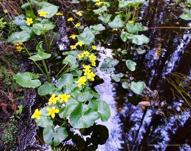 Marsh marigold in Nuuksio National Park