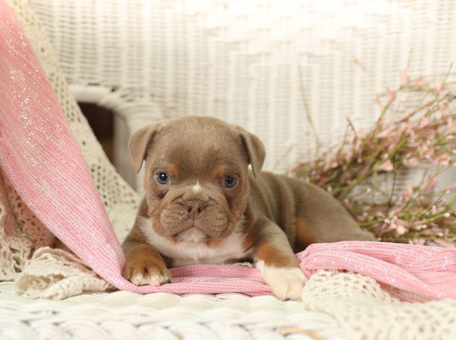 Courageous oldenglishbulldogges english bulldog puppies