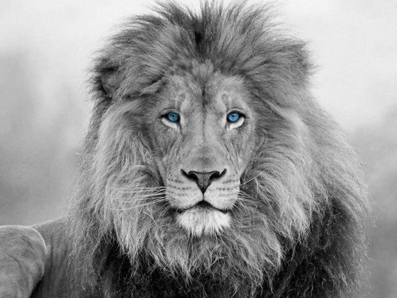 African Lion, black and white lion blue eyes print, Canvas Print. Lion wall art, black and white wall art, Wall art, Lion canvas print