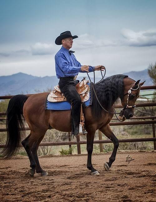 Al Shaheed NA (Ever After NA x JA Psilk N Lace)  2010 Purebred Arabian Stallion