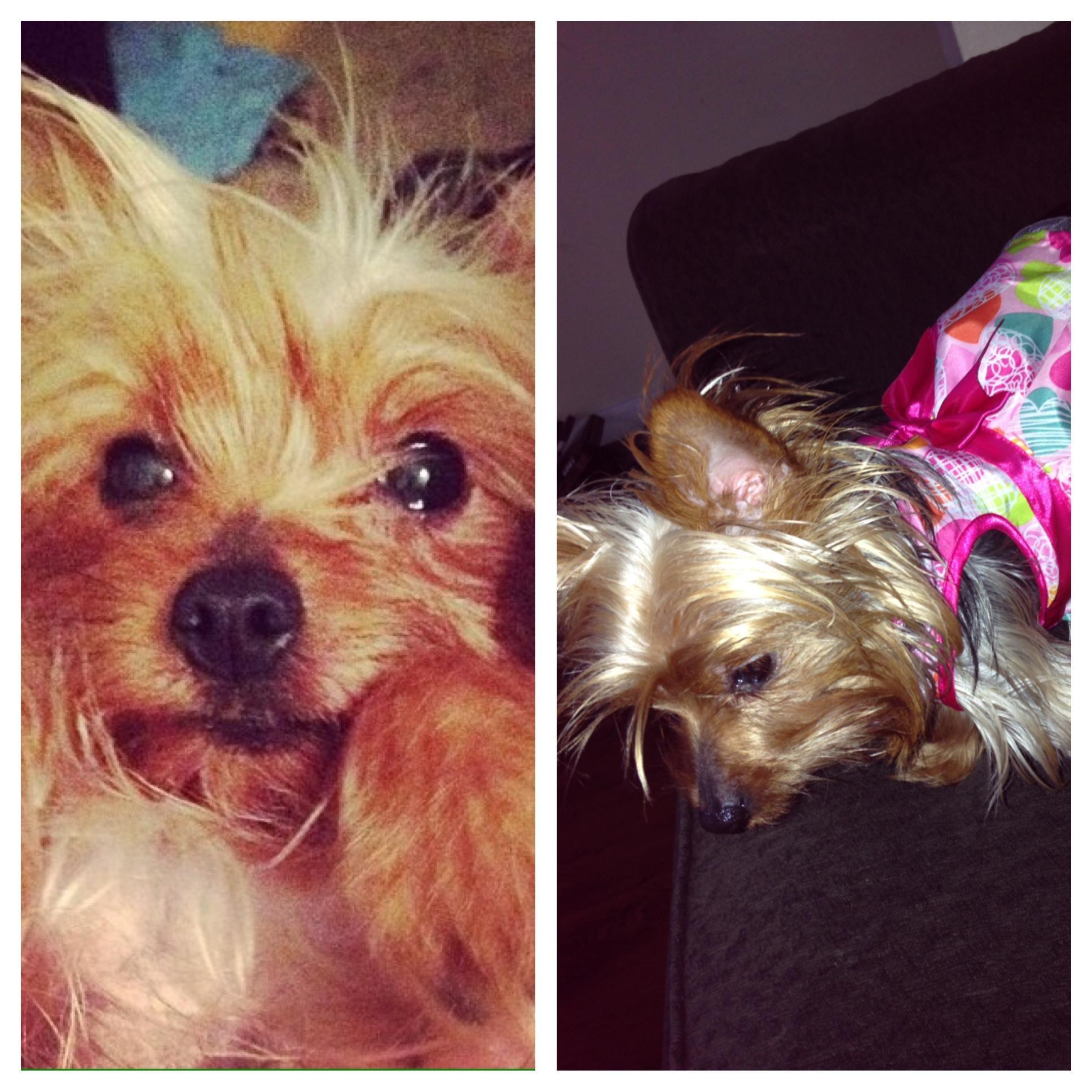 LOST DOG*** 4 year old female teacup Yorkie NAME Queenie