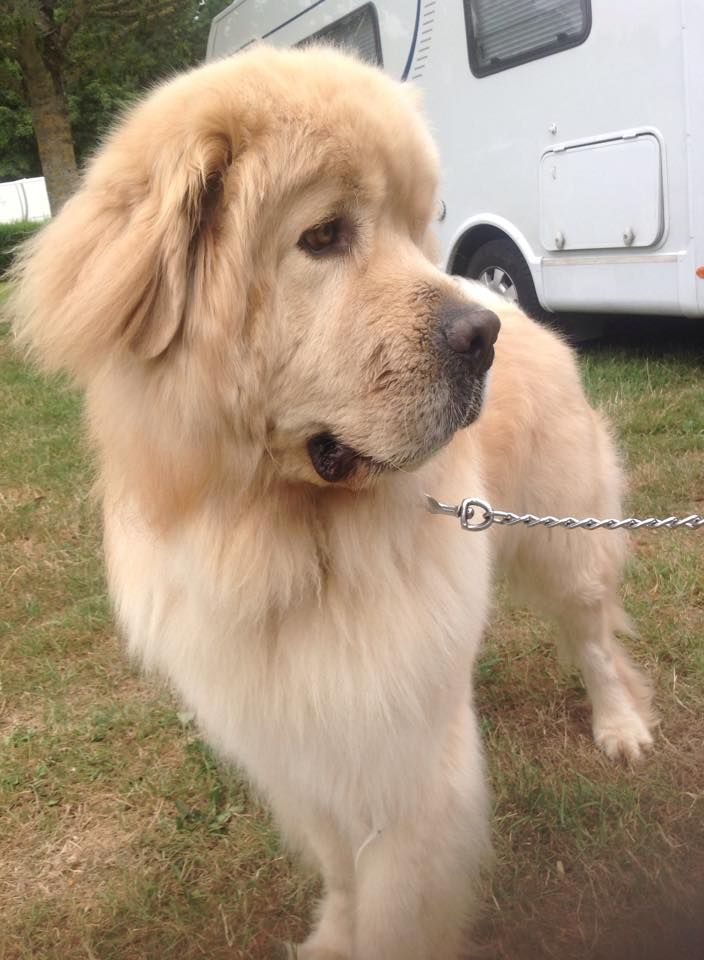 Golden Retriever Noble Loyal Companions Cute Dogs And Puppies