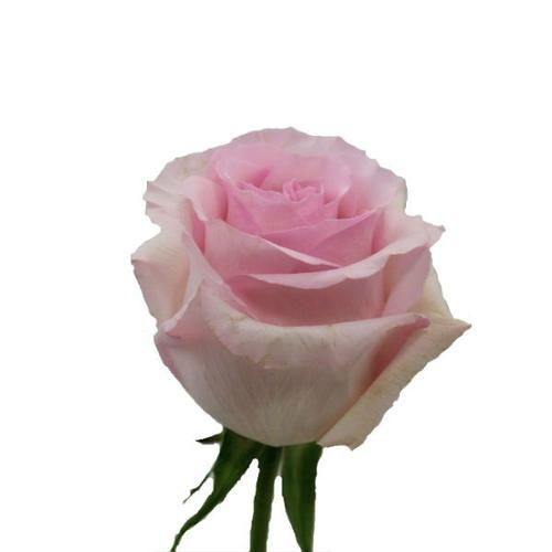 Rose Nena Light Pink 40 Cm 1 Myfavoriteblooms2 Bloomsbythebox Wedding For Table Arrangements Rose Wholesale Flowers Wholesale Roses