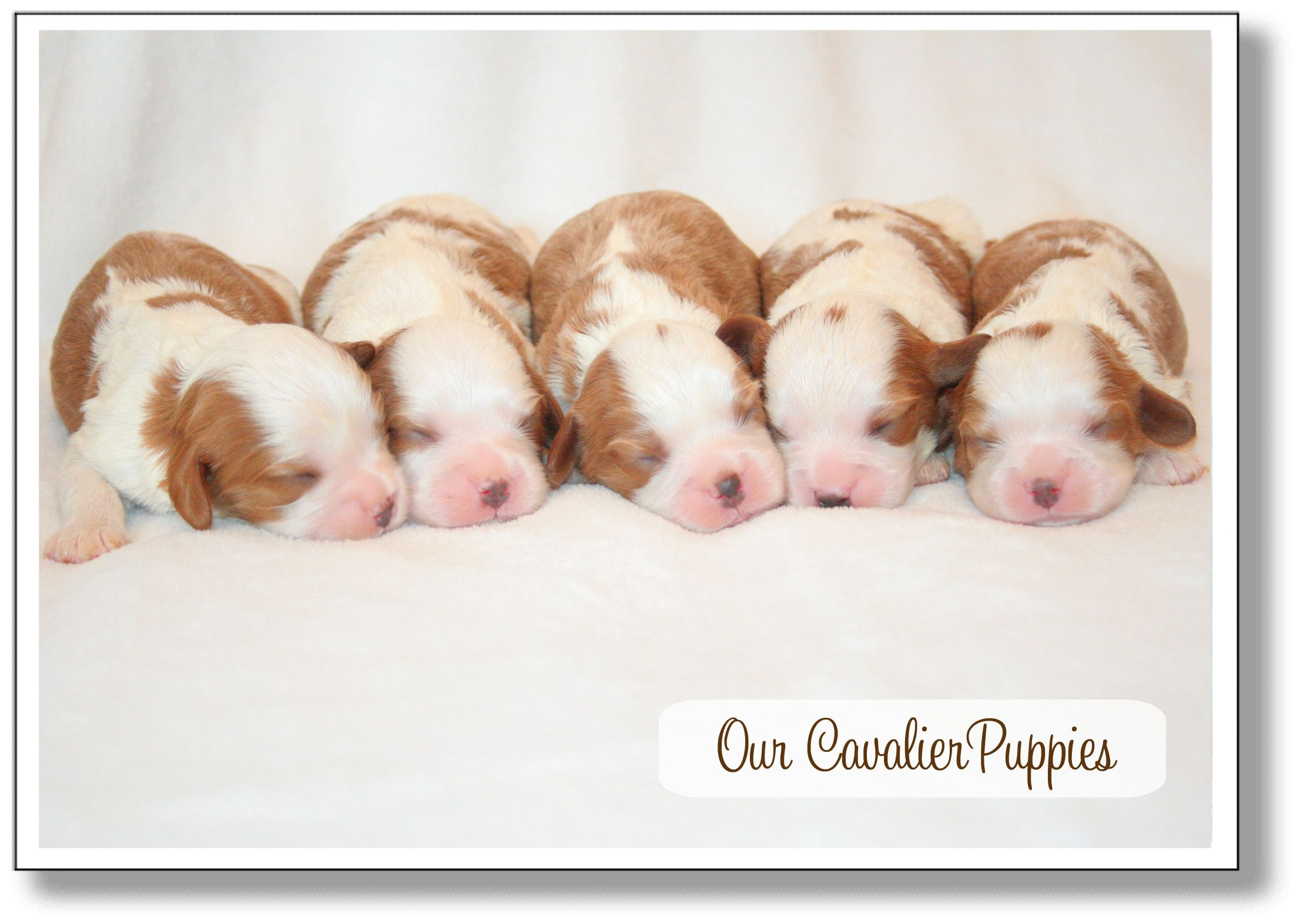 Cavalier King Charles Puppies So Precious Cavalier Puppy King Charles Cavalier Spaniel Puppy King Charles Puppy