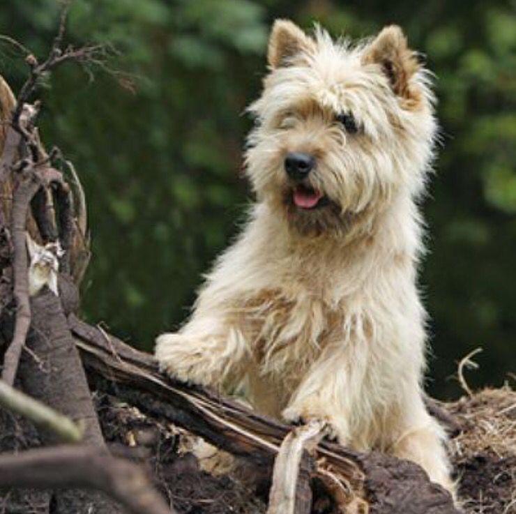Terrier Cairn Morecairn Terrier Cairn Terrier Welpen Cairn