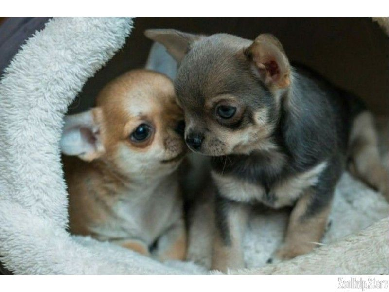 Teacup Chihuahuas And Chihuahua Puppies For Sale By Teacups