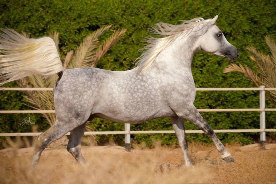 Aneesilnefous Ezzain Beautiful Arabian Horses Horses Beautiful Horses