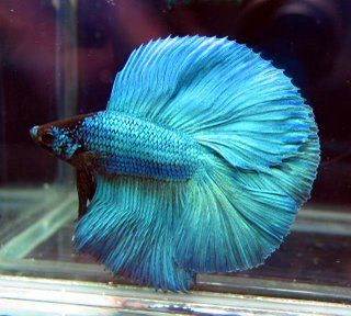 Fish Hickey Has A Diversity Of Colors And Types Are Full Of Charm Besides Easy To Breed Type Of Fish That Live In This Swamp Also Has A Pre Betta Fish