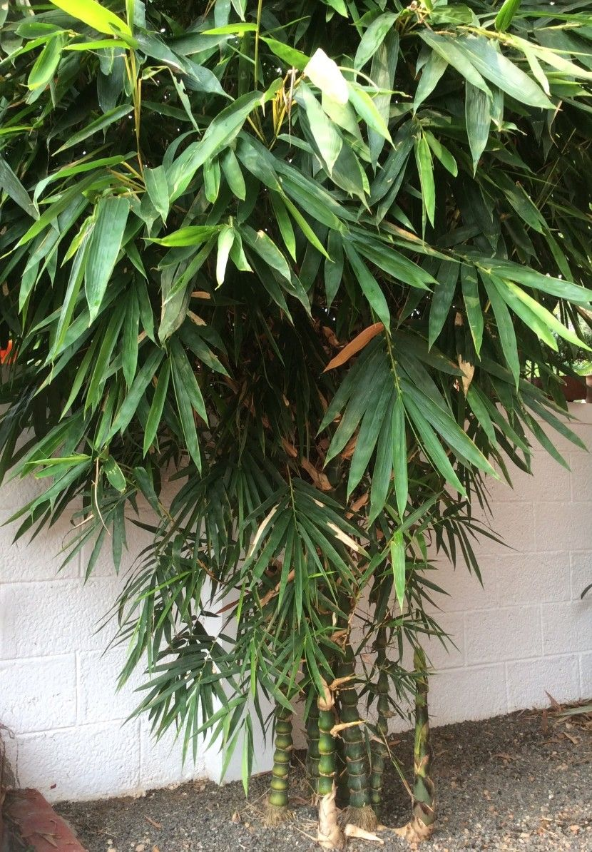 Buddha's belly bamboo  | Gardening | Bamboo plants, Jade
