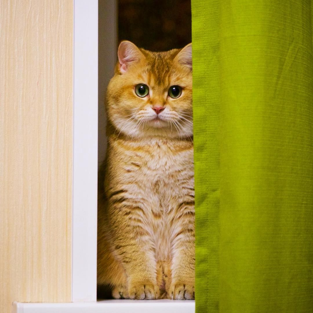 Im Disguised You See Me Animals Cats Pinterest - Hosico the cat is pretty much the real life puss in boots