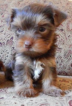 Purebred Yorkie Puppies Re Homing With Small Adoption Fee We Are Excited To Have Three Yorkshire Terrier Puppies With T With Images Yorkie Puppy Teacup Yorkie Puppy Yorkie