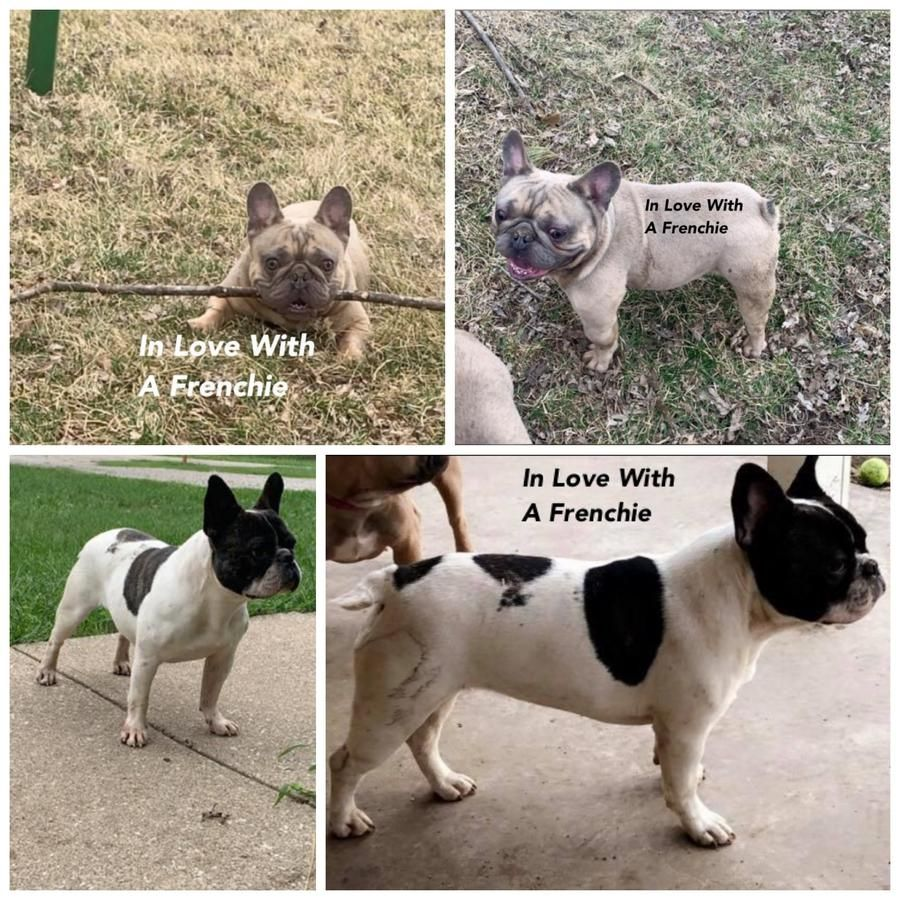French Bulldog Litter Bulldog French Bulldog For Sale