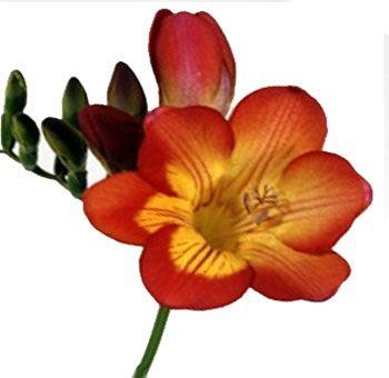 Buy Freesia Bicolor Orange Flower At Wholesale Freesia Flowers Orange Flowers Flowers