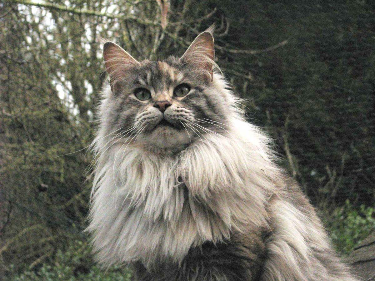 Animais de Estimação: Raça de Gato: Maine Coon