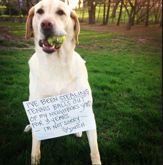 Another Case of Dog Shamming. Tennis balls the best. Haha