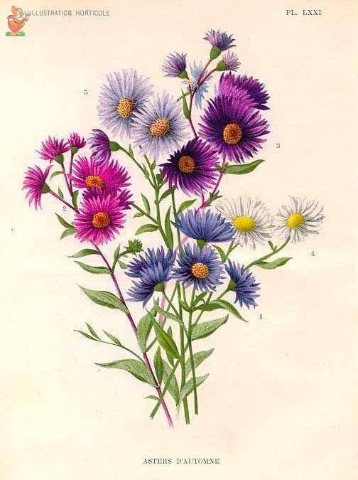 221 A Legria Aster Flower Tattoos Aster Flower Birth Flower Tattoos