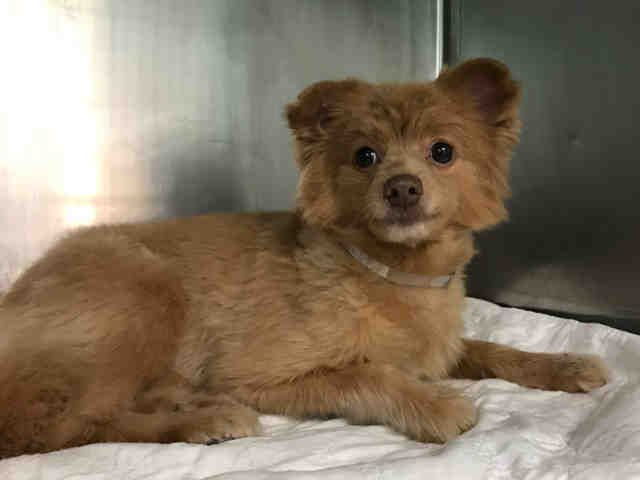 Super Urgent Angel Aka Ginger A0960449 Returned 03 31 17 Spayed Female Tan Pomeranian Mix 3 Yrs Stray Dog Adoption Pet Adoption Pomeranian Mix