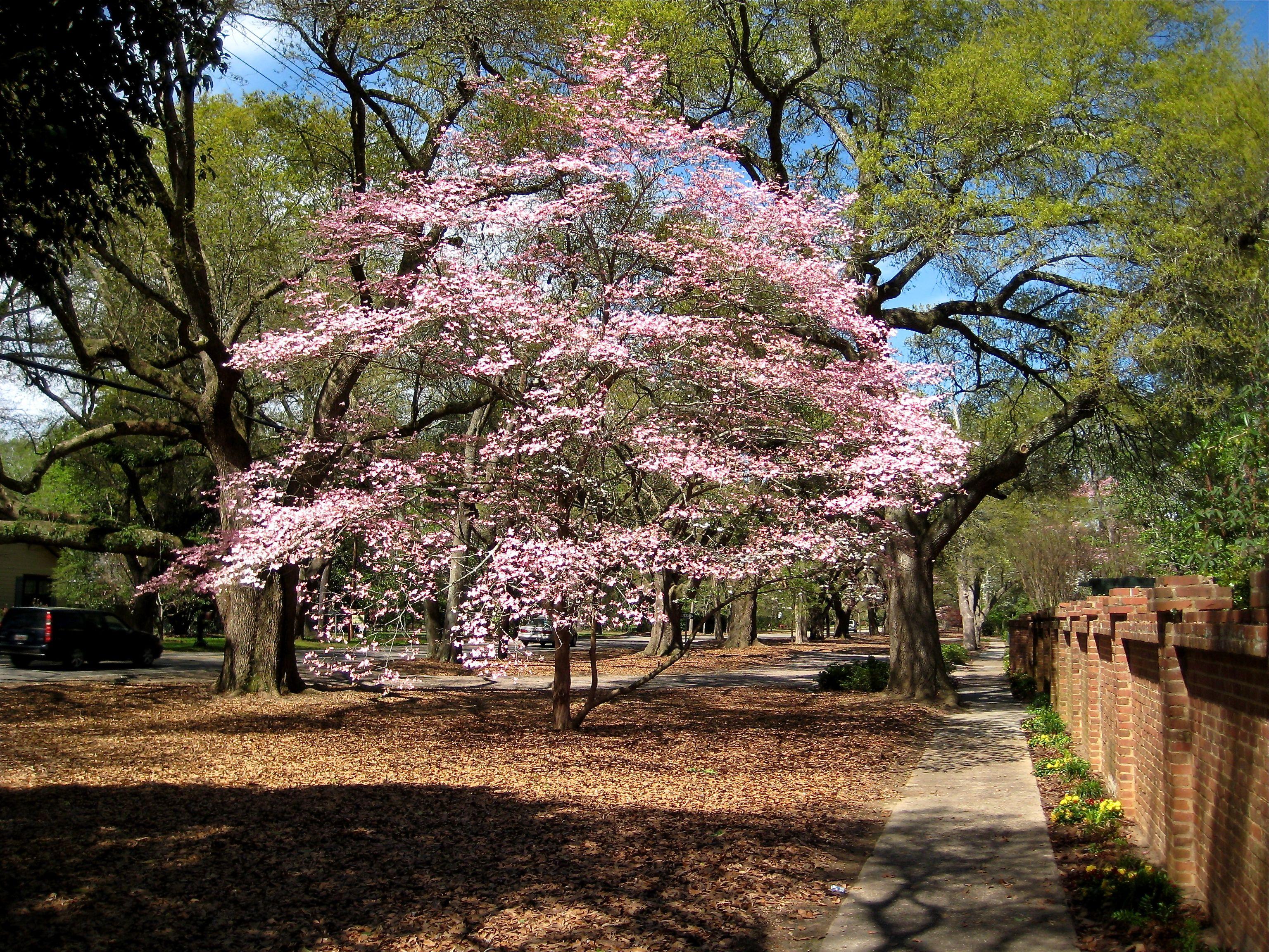Japanese Flowering Cherry (Prunus x yedoensis) Pink