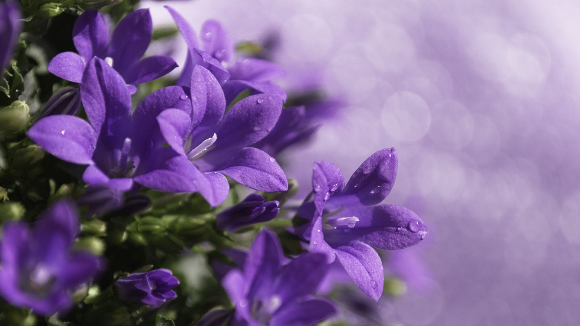 Download Wallpaper 1920x1080 Close Up Purple Flower Green Full Hd 1080p Hd Background Fleurs Mauves Fleurs Jolie Fleur