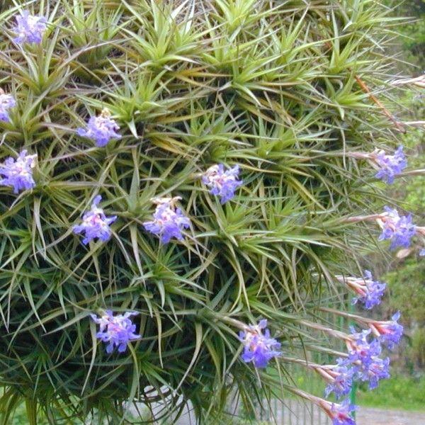 tillandsia bergeri est une plante de la famille des brom liac es originaire d 39 argentine o elle. Black Bedroom Furniture Sets. Home Design Ideas